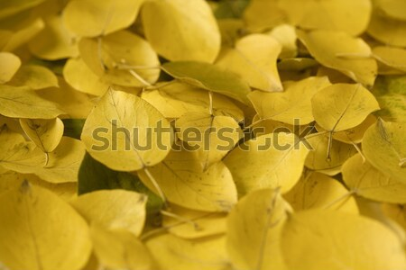 Yellow fallen leaves Stock photo © Supertrooper