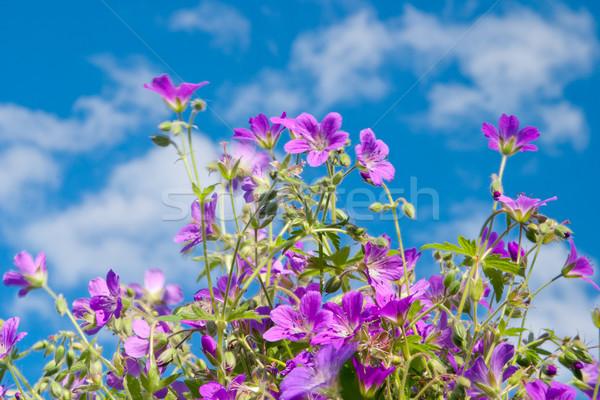 Fényes vibráló vadvirág kék ég virág tavasz Stock fotó © Supertrooper