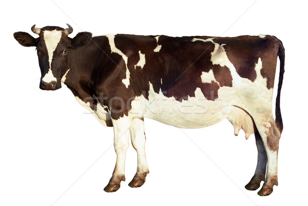 Dairy cow isolated Stock photo © Supertrooper