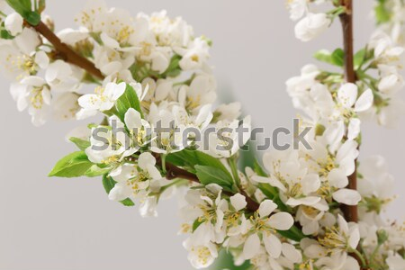 Spring flowering Stock photo © Supertrooper