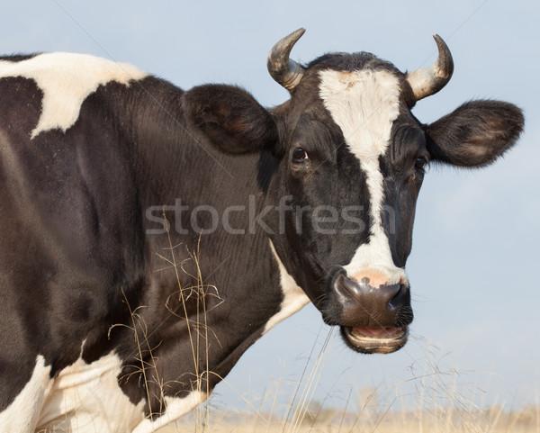 Cow Eats Hay Stock photo © Supertrooper