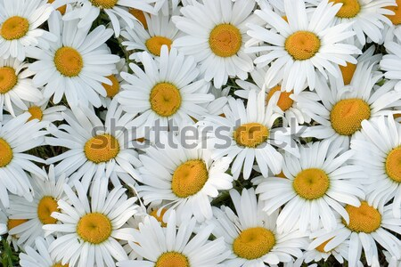 White daisies Stock photo © Supertrooper