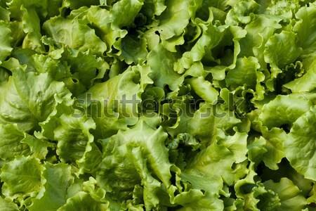 Lettuce (Lactuca sativa) Stock photo © Supertrooper