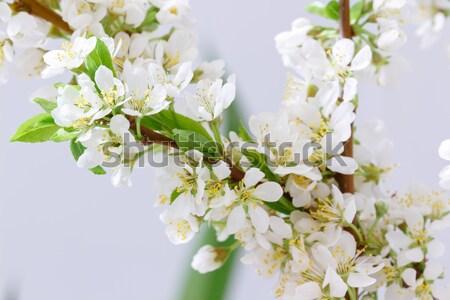 Primavera flor ramo flores brancas natureza Foto stock © Supertrooper