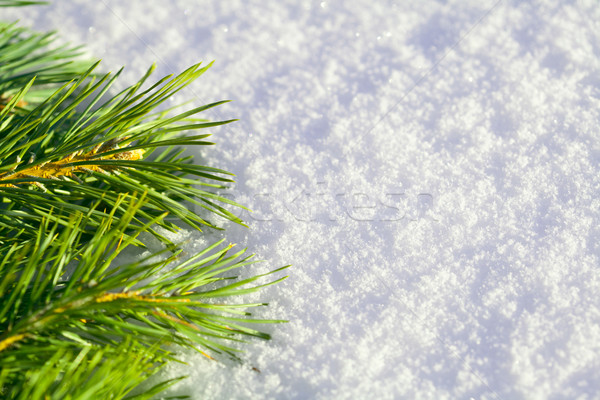 Pine needles on snow Stock photo © Supertrooper