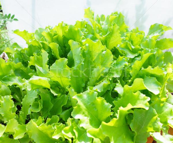 Fresh Lettuce Leaves Stock photo © Supertrooper
