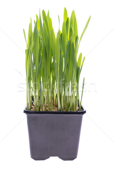 Wheat grass isolated Stock photo © Supertrooper