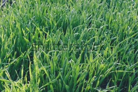 Fresche verde grano erba gocce rugiada Foto d'archivio © Supertrooper