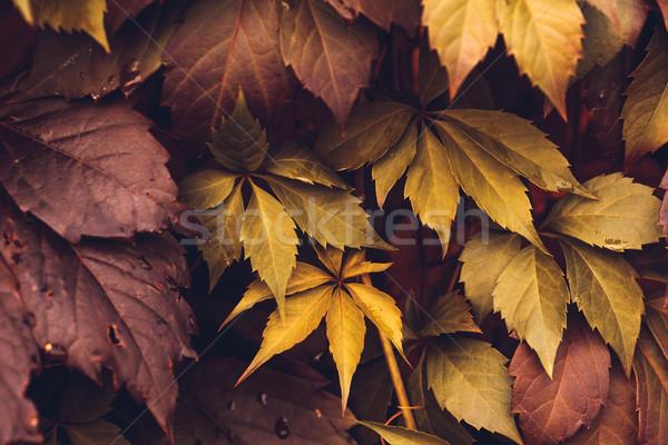 Jesienią Virginia pozostawia makro Zdjęcia stock © Supertrooper