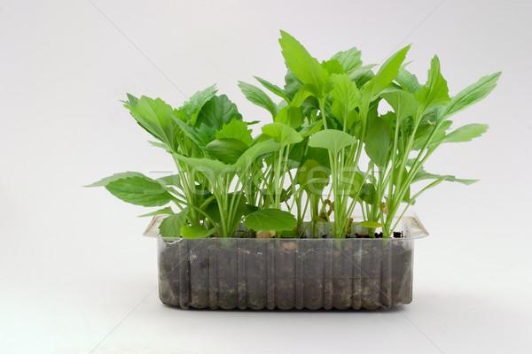 Seedling Stock photo © Supertrooper