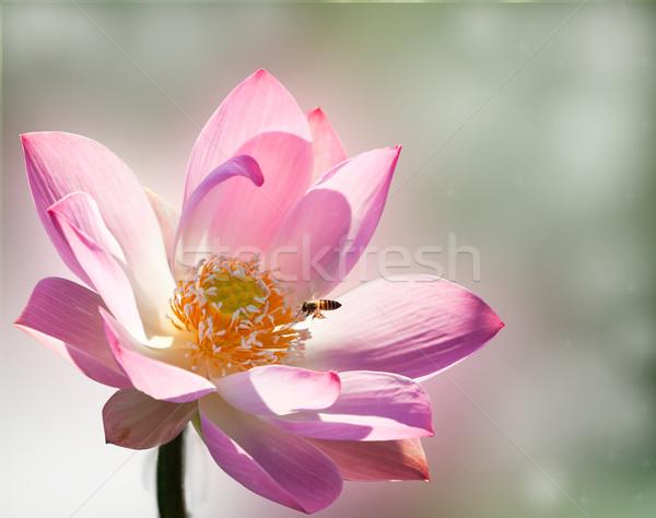 Pembe lotus bahçe turuncu havuz renk Stok fotoğraf © Suriyaphoto