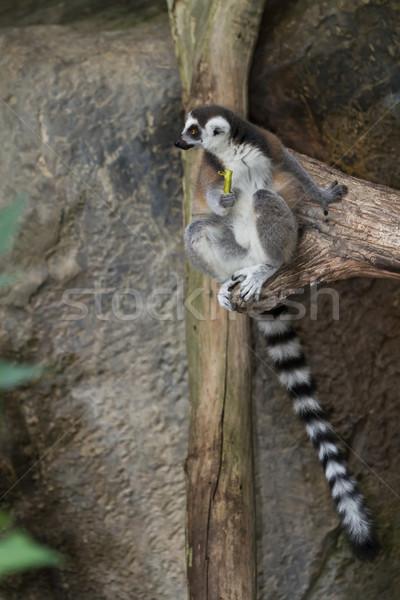 Göz orman yağmur Afrika hayat maymun Stok fotoğraf © Suriyaphoto
