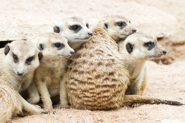 Meerkats Stock photo © Suriyaphoto