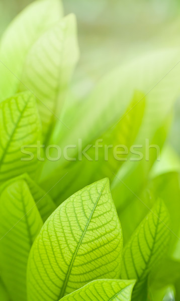 Fresh leaves Stock photo © Suriyaphoto