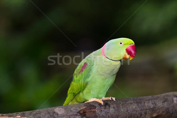 Yeşil papağan kuş doğa kırmızı konuşma Stok fotoğraf © Suriyaphoto