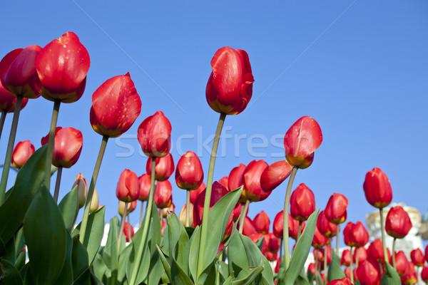 Czerwony tulipan Wielkanoc wiosną trawy ogród Zdjęcia stock © Suriyaphoto