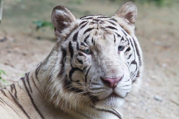 Blanche tigre oeil hiver tropicales oreille Photo stock © Suriyaphoto