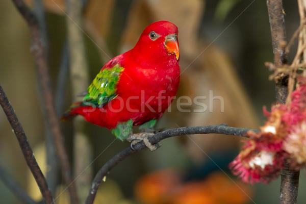 Rood papegaai familie glimlach groene Blauw Stockfoto © Suriyaphoto