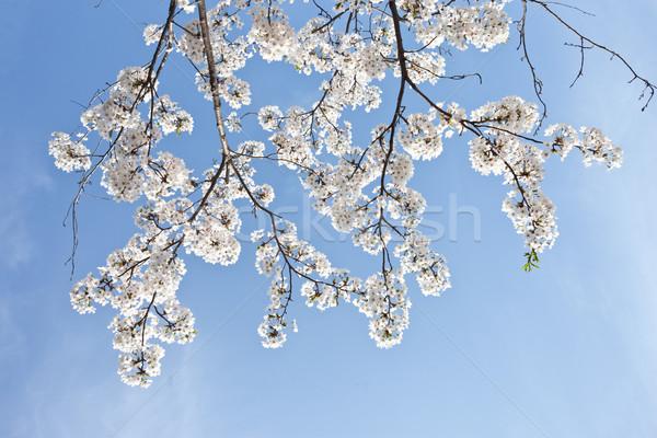 Kersenbloesem boom schoonheid chinese witte kers Stockfoto © Suriyaphoto