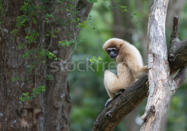 White handed Gibbon or Lar Gibbon Stock photo © Suriyaphoto