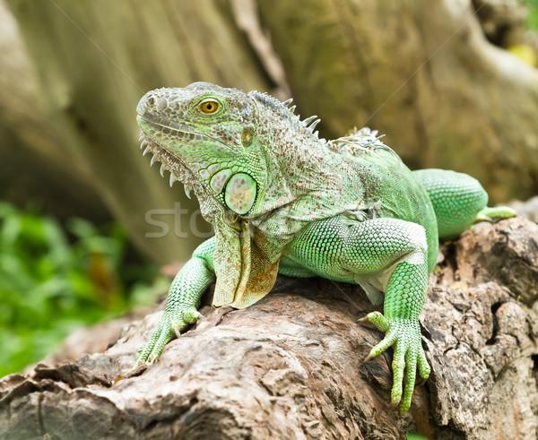Iguana copac corp verde plantă tropical Imagine de stoc © Suriyaphoto