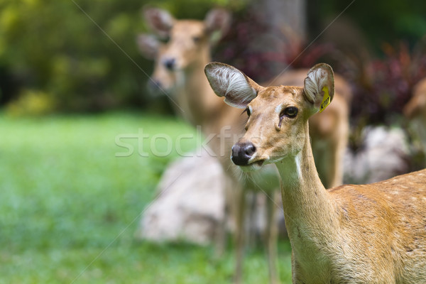 Cerfs printemps montagne ferme parc fourrures Photo stock © Suriyaphoto