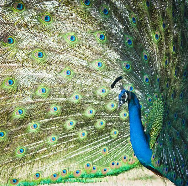 Pauw schoonheid dansen Blauw hoofd tropische Stockfoto © Suriyaphoto