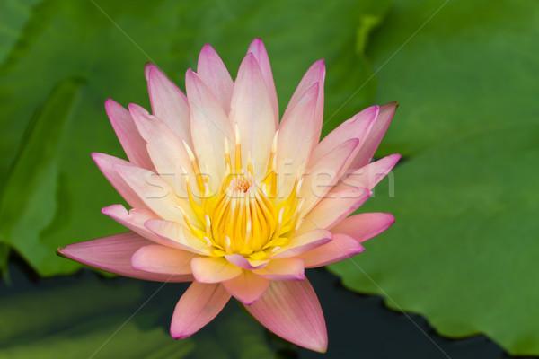 Lotus water liefde schoonheid zomer groene Stockfoto © Suriyaphoto