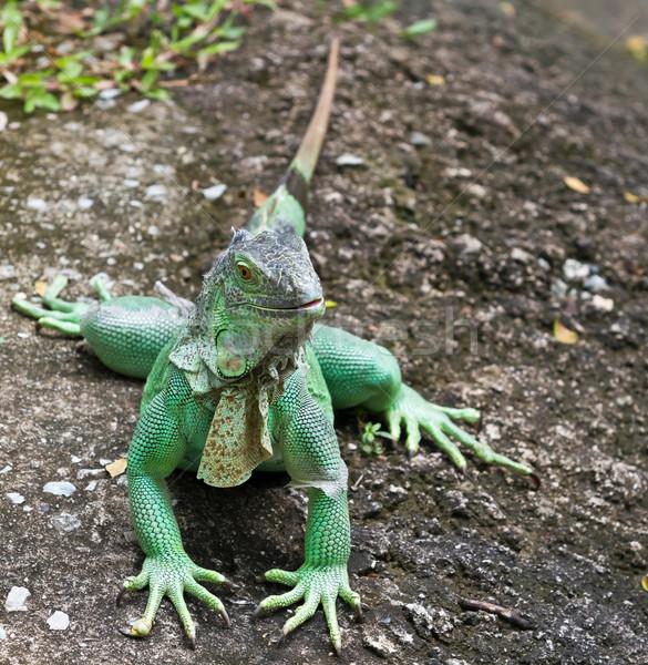 Iguana ağaç vücut yeşil bitki tropikal Stok fotoğraf © Suriyaphoto