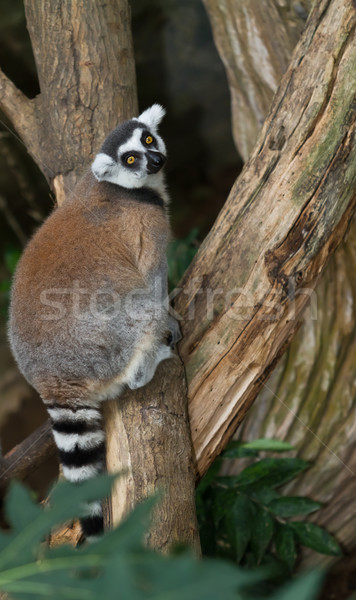Ring-Tailed Lemur Stock photo © Suriyaphoto