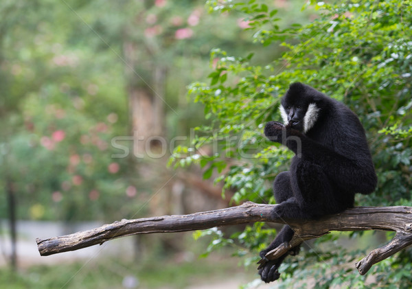 white Cheek Gibbon Stock photo © Suriyaphoto