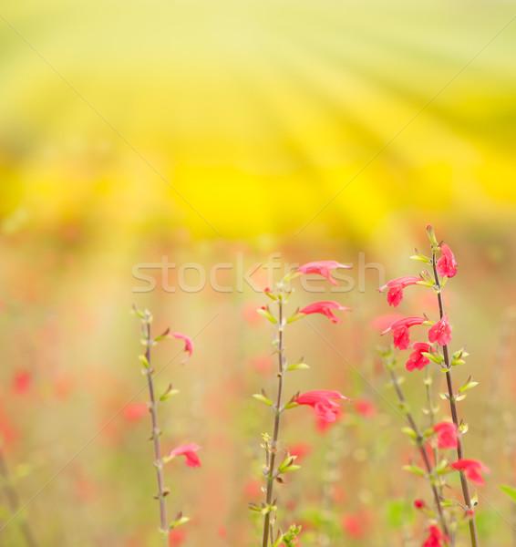 Flores luz verano verde amanecer césped Foto stock © Suriyaphoto