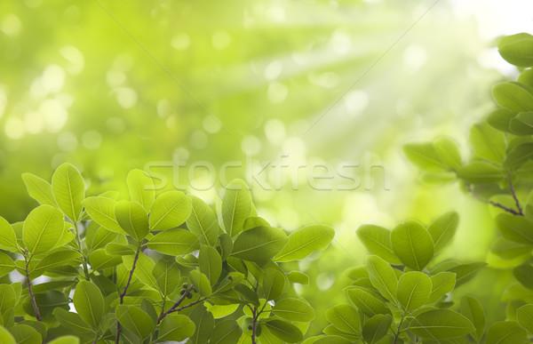 Taze yaprakları güneş doğa bahçe arka plan Stok fotoğraf © Suriyaphoto