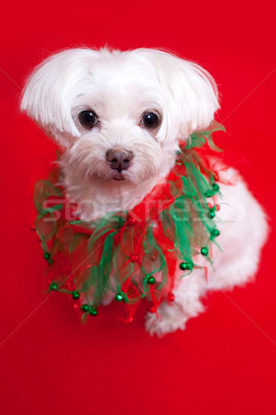 Dog in holiday collar Stock photo © susabell