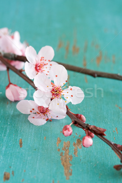 Cherry blossom branch  Stock photo © susabell