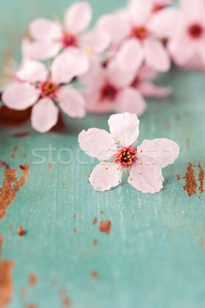 Close up of Cherry Blossoms Stock photo © susabell