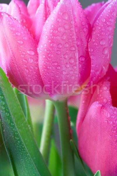 Tulipani rugiada gocce acqua primavera sfondo Foto d'archivio © susabell