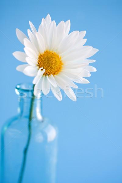 Daisy Wazon świeże płatki dość Zdjęcia stock © susabell