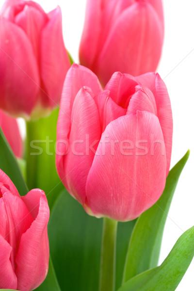 Rózsaszín tulipán virágok virág tavasz természet Stock fotó © susabell
