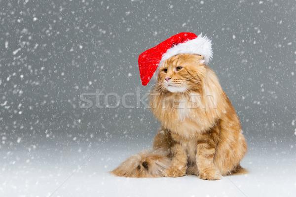 Grande zenzero cat Natale Hat Maine Foto d'archivio © svetography