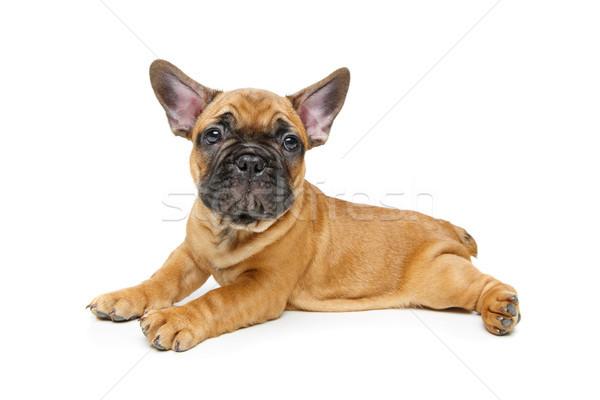 Sevimli fransız buldok köpek yavrusu güzel küçük Stok fotoğraf © svetography