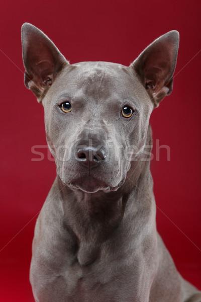 Thai kutya piros gyönyörű ül stúdiófelvétel Stock fotó © svetography