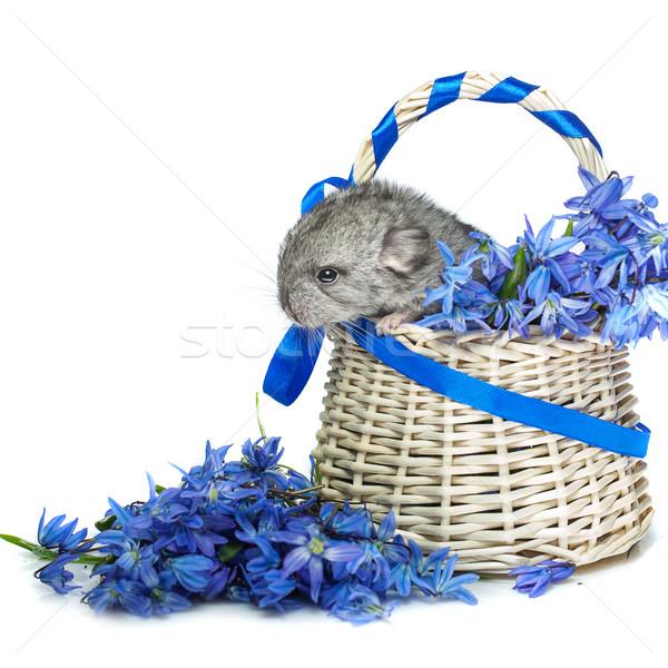 Stok fotoğraf: çinçilla · sepet · çiçekler · bebek · oturma · mavi