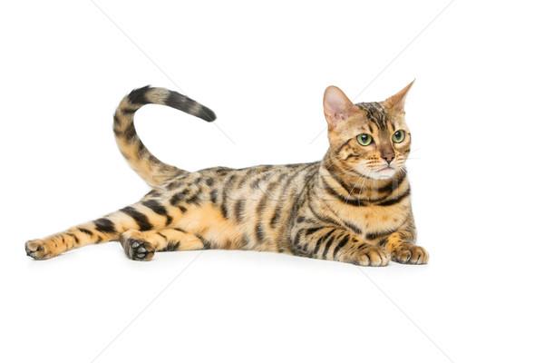 Beautiful bengal cat Stock photo © svetography