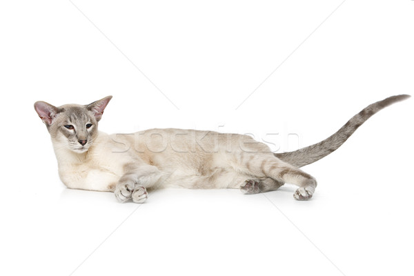 Beautiful oriental siam cat Stock photo © svetography