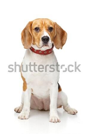 Stockfoto: Mooie · beagle · hond · geïsoleerd · witte · meisje