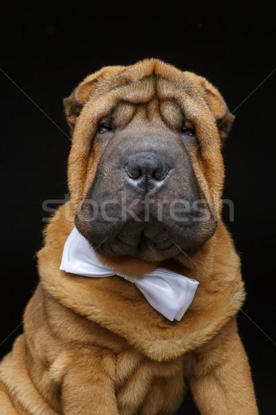 Szczeniak biały muszka godny podziwu mały psa Zdjęcia stock © svetography
