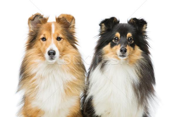 Stok fotoğraf: Iki · köpekler · güzel · yalıtılmış · beyaz · bo