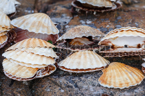 Many scallop shells lying on rocks Stock photo © svetography