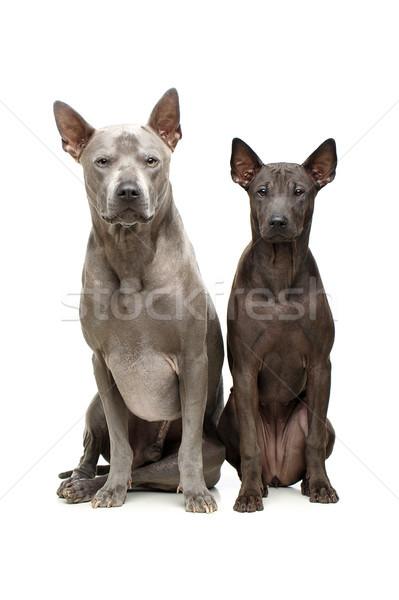 Belle thai chiens super court fourrures Photo stock © svetography